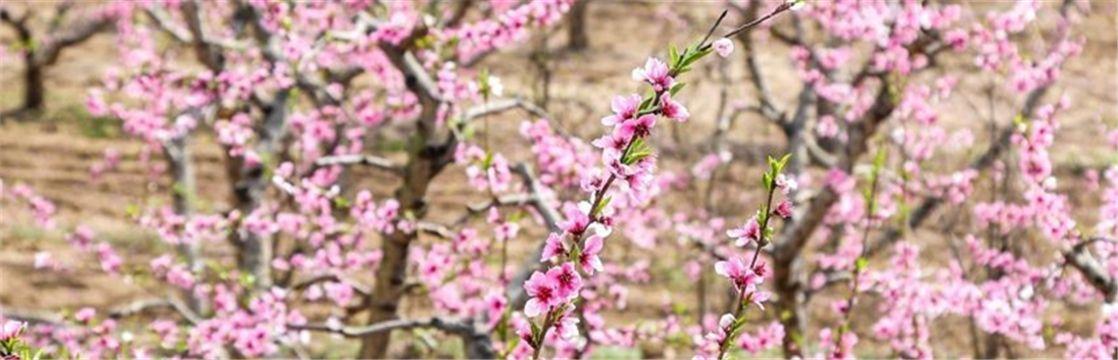 2019年第二届渭南·华州赤水桃花节